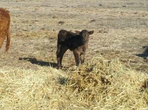 2013 Spring Calf