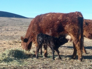 2013 Spring Calf_nursing2