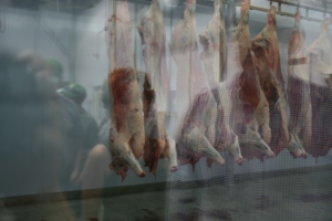 The first beef carcasses slaughtered at the facility hang in a large cooler. LPCA can slaughter up to 15 head of cattle per day.