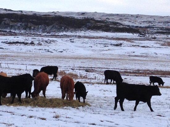 Feeding is the main daily chore on the ranch during winter.