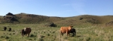 #WordlessWednesday: Fall Cows and Calves on SpringPasture